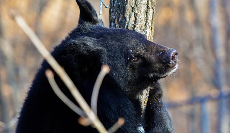 Медведь «помог» найтись заблудившимся в кузбасской тайге парням, загнав их на дерево