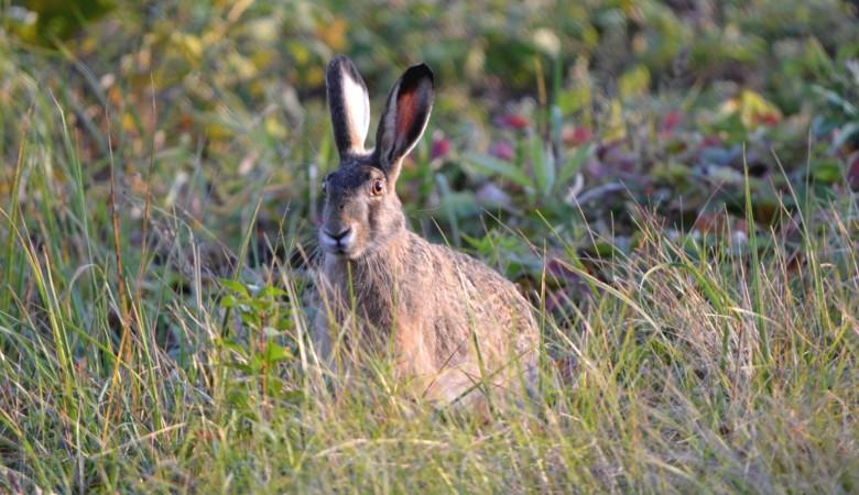В Кузбассе началась спецоперация по спасению зайцев