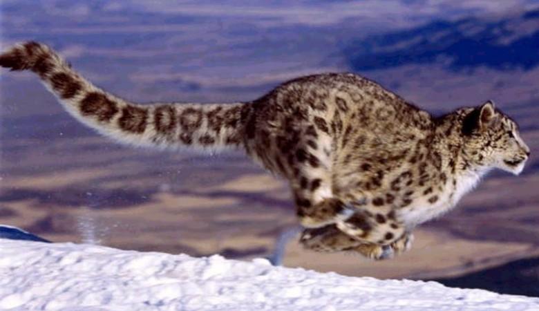 На Алтае в фотоловушку вместо горных баранов попал довольный жизнью снежный барс