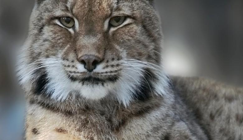 Зоопарк в Новосибирске назвал число родившихся рысят за всё время работы