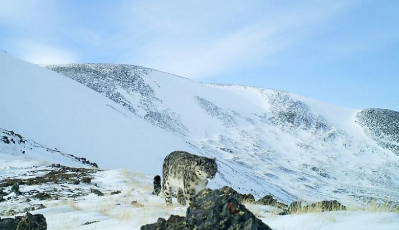 Три снежных барса попали в фотоловушки в алтайском нацпарке