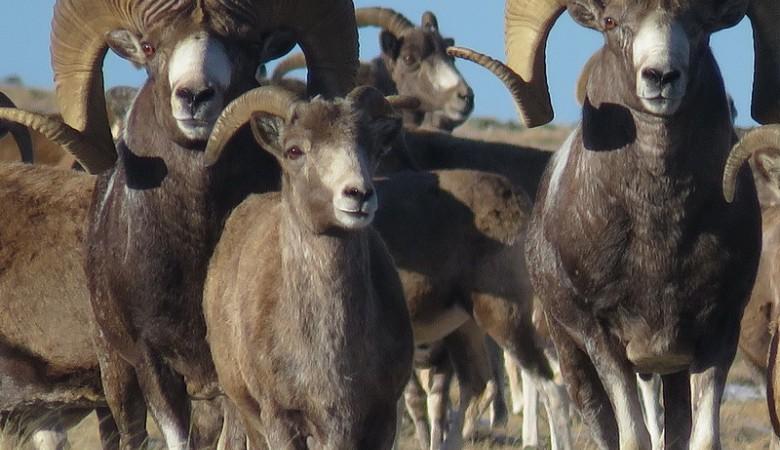 Самцов горного барана выпустили на волю в Республике Алтай