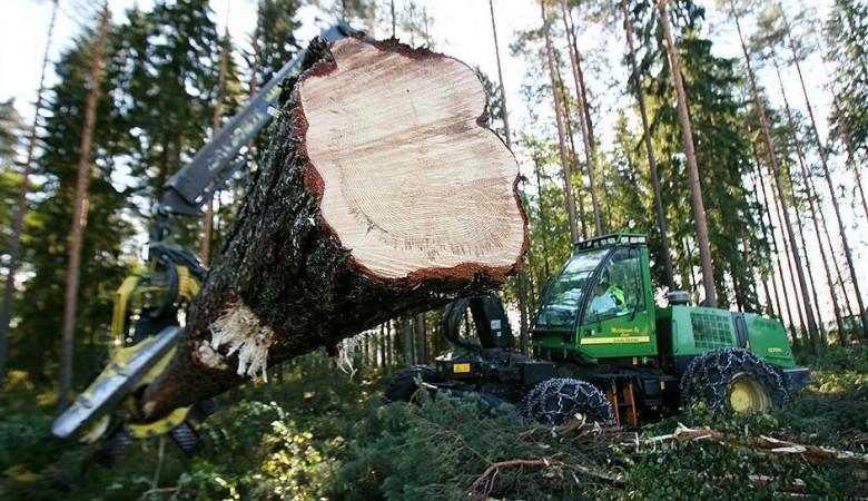 Черный лесоруб в Хакасии заготовил кедры на 100 млн рублей