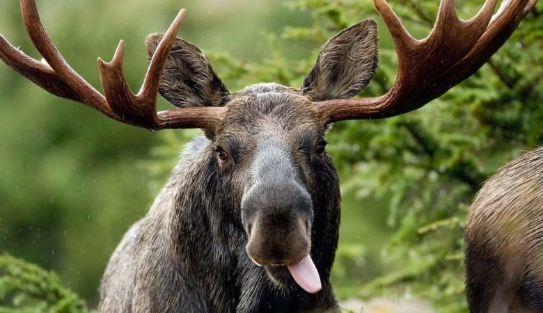 В Томске лось провалился в теплицу ботанического сада и умер
