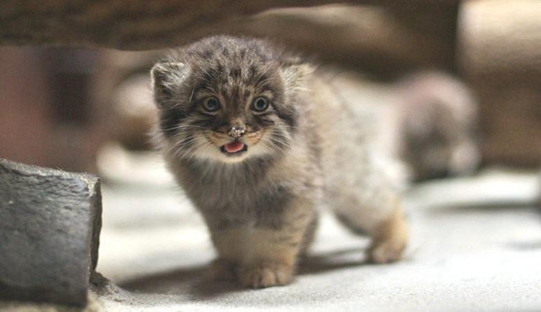Домашняя кошка решила выкормить трех котят манула в Новосибирском зоопарке