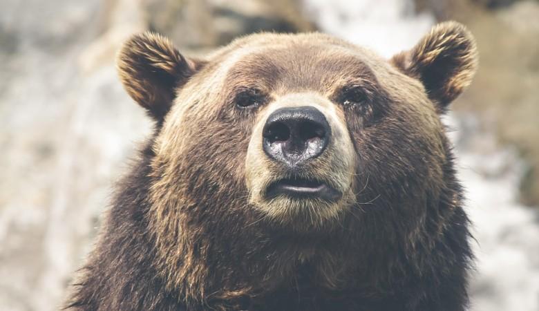 Медведица напала на жителя Тувы по дороге на чабанскую стоянку