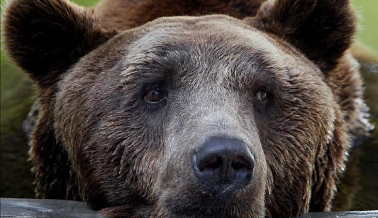 В Иркутской области раздумывают, что делать с растущей популяцией медведей