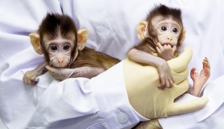 В Китае на свет появились пять клонированных обезьян с идентичными измененными генами