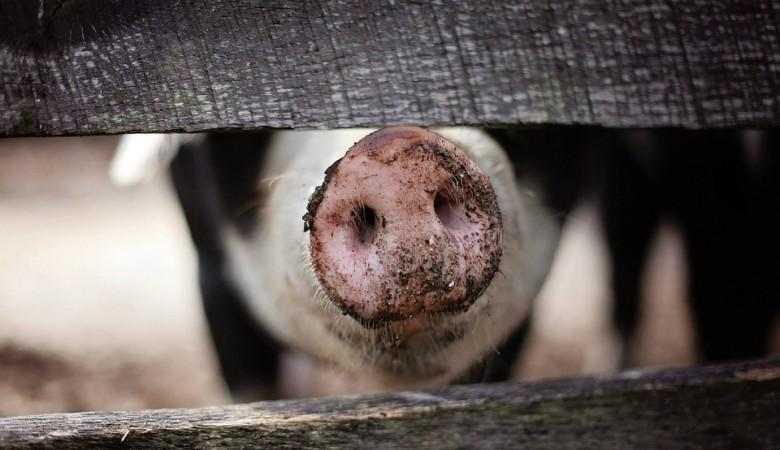 Вирус свиного гриппа, которым напугали китайские ученые, не является новым - ВОЗ
