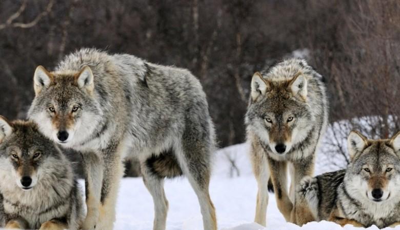 В Иркутской области нерадивые полицейские переоценили аппетит волка