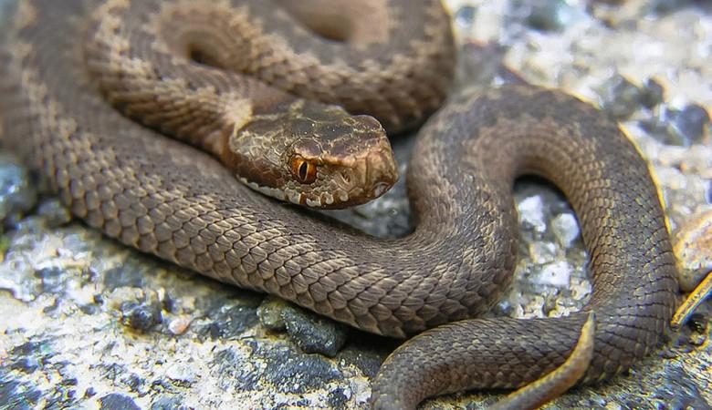 Из-за паводка в Забайкалье началась внеплановая миграция змей