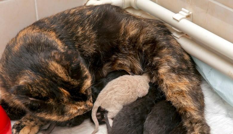 В Новосибирске беременная кошка самостоятельно пришла рожать в ветклинику