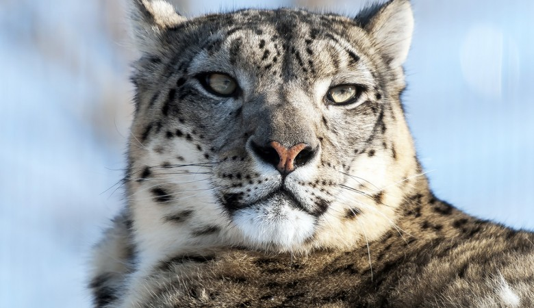 WWF зафиксировал рост популяции снежных барсов на Алтае и в Туве