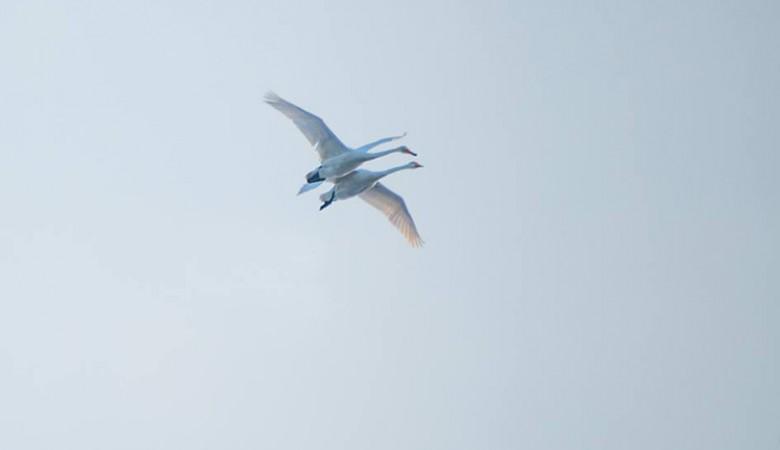Алтайский фотограф запечатлела обнимающихся в полете лебедей