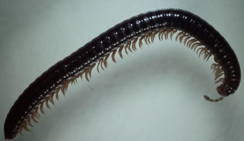 На Алтае обнаружили животное с 750 ногами