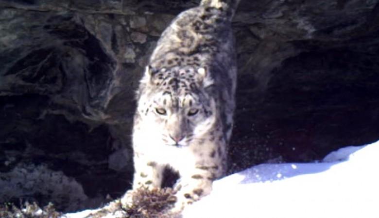 Семья снежных барсов с котятами обосновалась в природном парке