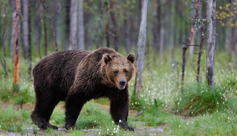 В иркутской тайге медведь напал на грибников, один из них погиб