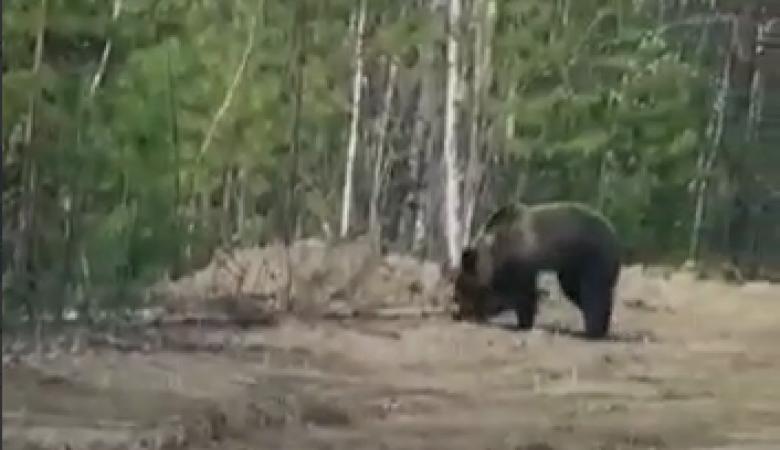 Водитель в Томской области вышел прямо навстречу медведю
