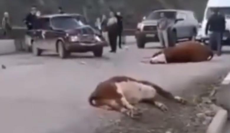 Женщина на полной скорости влетела в стадо коров в Республике Алтай