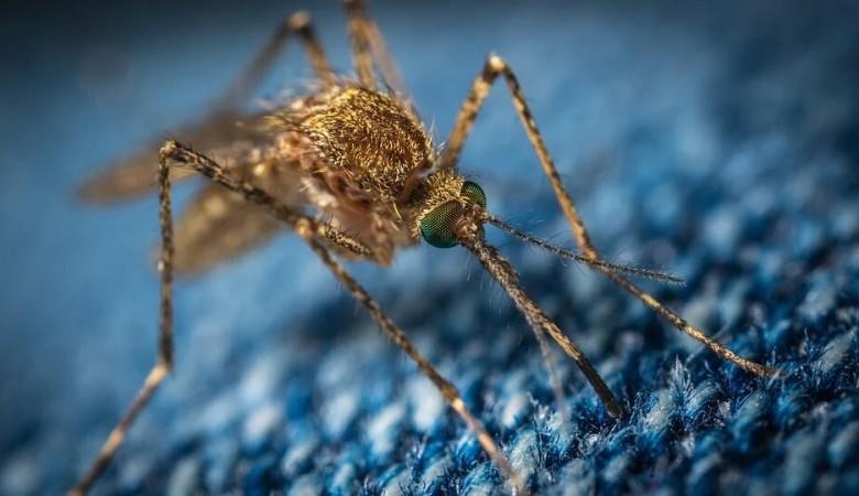 В Томске изучат геномы комаров, чтобы спрогнозировать эпидемии
