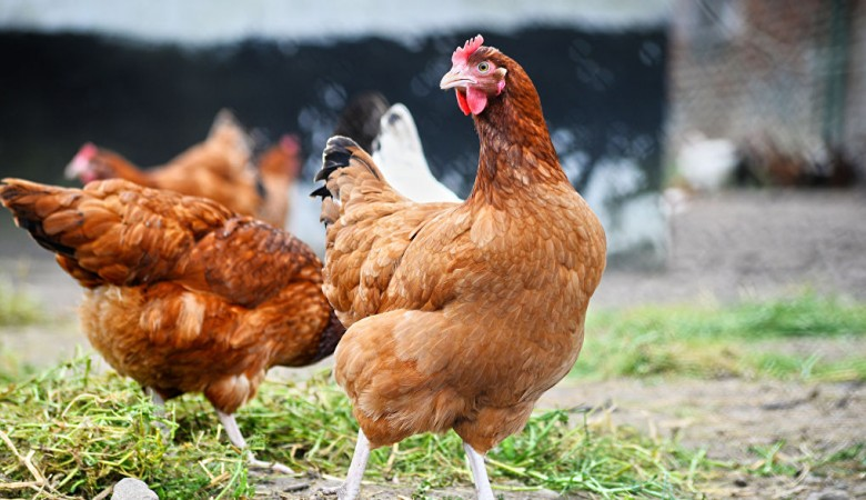 Китай хочет закупать в РФ куриные лапки в больших объемах