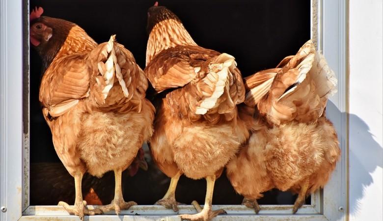 В Омской области в 2022 г. рассчитывают восстановить поголовье птицы после вспышки гриппа