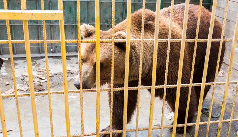 Медведя, покалечившего жительницу Томска, увезли из кафе