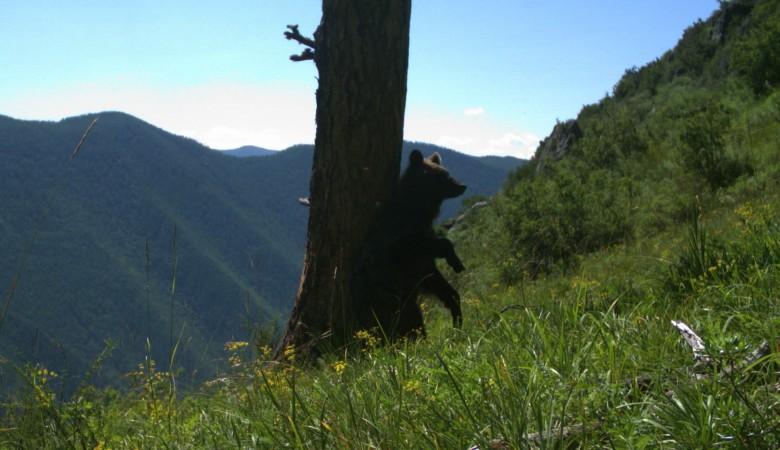 В Саяно-Шушенском заповеднике показали, как медведи трутся о деревья