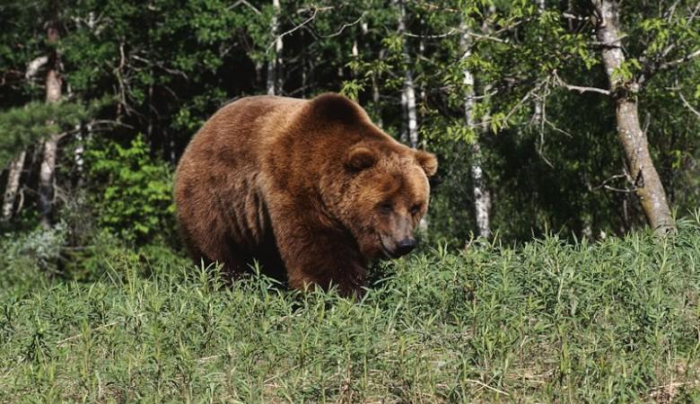 Неподалеку от Красноярска на туриста напал медведь