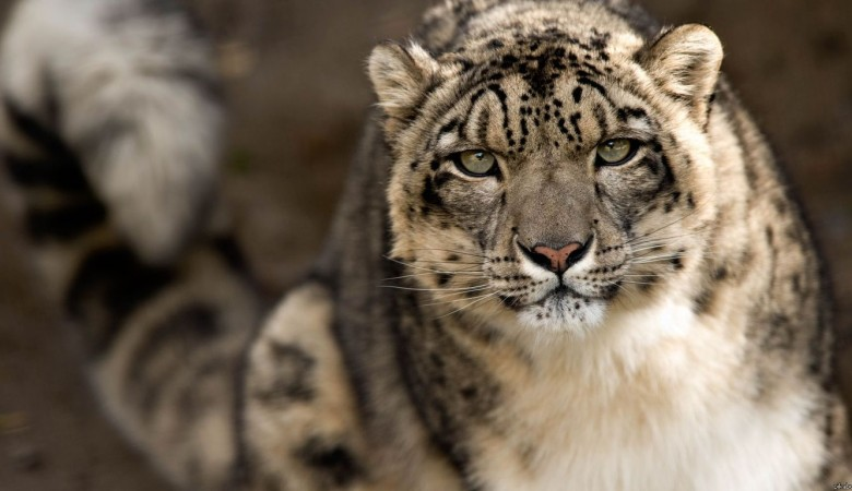 Ученые решили пересчитать ирбисов на Алтае, которым угрожают браконьеры