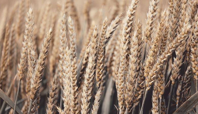 РФ возобновляет продажу зерна из госфонда, пшеница хранится на элеваторах в Сибири
