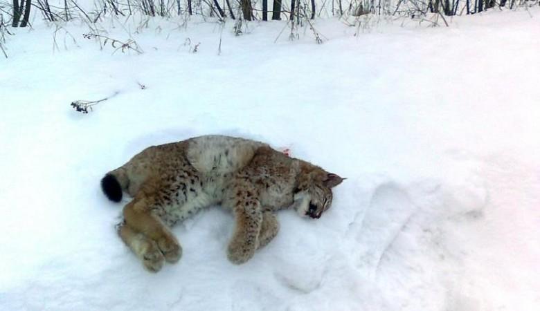 Облава на рысь в Омской области закончилась гибелью животного