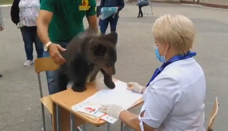 Несовершеннолетний медведь пытался «проголосовать» по поправкам в Конституцию в Барнауле
