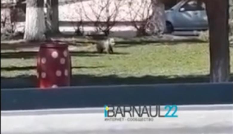 Медвежонка обнаружили бегающим во дворе жилого дома в Барнауле