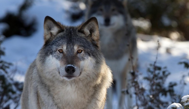 Бурятию одолели волки